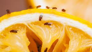 fruchtfliegen bekämpfen und loswerden das sind die besten tipps