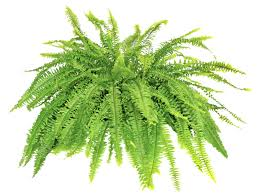 Are Christmas Trees Poisonous To Dogs by 8 Dog And Cat Safe Plants To Supercharge The Air You Breathe