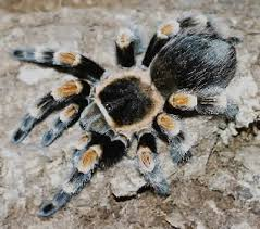 mexican red kneed tarantula brachypelma smithi mexican red knee