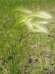 Foxtail Barley Grass — Northern Arizona Invasive Plants Lola The Grass Awn Youtube Canada Wild Rye The Project Bobs Blog Animal Hospital Of Rowlett Awns Making An Summer Danger Lurking In Yo Venice Dangers Foxtails To Dogs Cats Specialty Group Free Images Branch Field Sunlight Crop Ear Agriculture Porcupine Hesperostipa Spartea Ramblings A Seed Picker Field Biology Southeastern Ohio Grasses Part 2 Explore Barley Todays Homepage Filespear Heteropogon Contortus Tertwined Awns A Key Common Hawaii Page 6 Diase World Wheat