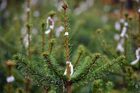 Nyc Christmas Tree Disposal by How To Dispose Of Christmas Trees In The Metro Wcco Cbs Minnesota