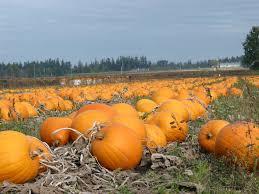 Connecticut Field Pumpkin by U S Pumpkin Growers Scared They U0027ll Buck Big Production Trend
