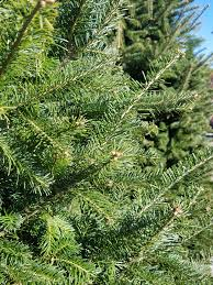 Balsam Christmas Tree Care by Selecting And Caring For Freshly Cut Christmas Trees Campbells