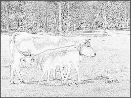 Coloriage Vache Allaitant Son Veau Pres Des Bouillouses Pyr Or 08 6