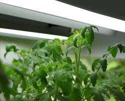 How to Grow Tomatoes Organically Indoors