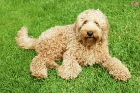 Large Dogs That Dont Shed Fur by Labradoodle Dog Breed Information Buying Advice Photos And Facts