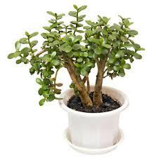 entretien plante grasse d interieur crassula l arbre de jade plantes d intérieur plants