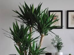 yucca palmen co gießen magazin