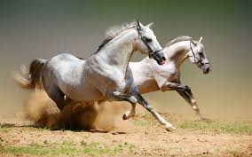 Most Five Beautiful Horses Runing Fresh HD Wallpaper 2014