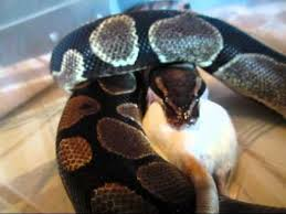 Ball Python Shedding Eating by Ball Python Eating A Colossal Rat Ft Youtube