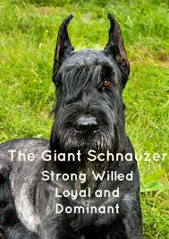 Large Non Shedding Dogs List by The Giant Schnauzer A Loyal Large Hypoallergenic Dog