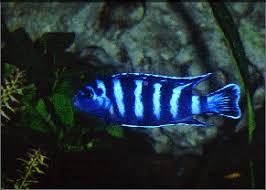 poisson eau douce aquarium tropical demasoni poissons poissons