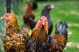 Chickens   Inhabitat - Green Design, Innovation, Architecture, Green ... Old Country Song Lyrics With Chords Ida Red Best Trucking Songs For Drivers Our Favorite Tunes The Road Events The Chicken Bandit Food Truck Eatery Tractors Kids Blippi Tractor Song Preschool Songs Tibetan Momo Ginger Armadillo La And More Hit Kenny Chesney Big Revival Amazoncom Music 2018 Chevrolet Silverado Ctennial Edition Review A Swan Portfolio Vending Trucks Little Car And Haunted House Monster In Chicken Tinga Atacoaday