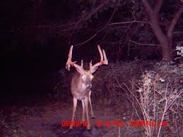 Whitetail Deer Shedding Velvet by Northern Missouri River Ridge Outfitters Whitetail Deer Hunt