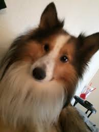 LOST Five days ago this miniature sheltie came up missing He is very friendly
