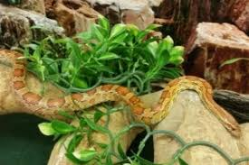 Corn Snake Shedding Time by Scrabble The Corn Snake Needs A New Owner After Being Rehomed At
