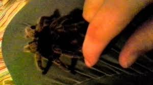 Do Tarantulas Shed Their Fangs by Tarantulas Are Not Out To Get You Read The Description Youtube