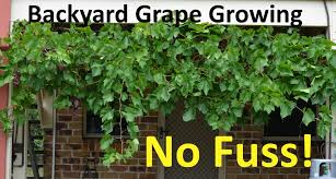 No Fuss Backyard Grape Growing Pruning Propagating - YouTube Starting Your Backyard Aquaponics System Picture With Marvellous Aquaponics Backyard Diy Ediya Youtube From Portable Farmsa Systems Pics On Terrific My Nursery Business Progress Elwriters Pictures How To Build A Fish Farm Image Awesome Tree Thenurseries 11 Best Vertical Garden Images On Pinterest Diy Vertical Backyards Stupendous Front Yard Landscaping Ideas Ohio Wondrous Bamboo Simple Amazing Hydroponics Guide Grow Box Tutorial Indoor Gardening