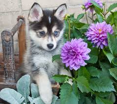 Dogs Who Dont Shed A Lot by 7 Things You Need To Know Before Buying A Pomsky Animalso