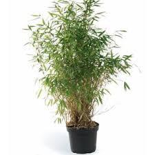 entretien des bambous en pot bambou bambou phyllostachys bisseti le pot de 7 litres botanic