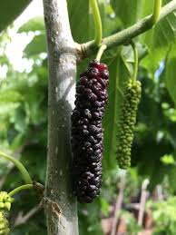 Mulberry Trees For Sale From Paradise Nursery