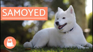 Do Samoyeds Shed All The Time by Samoyed Dog History Characteristics And Care Youtube