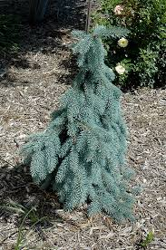 Slenderina Weeping Blue Spruce Picea Pungens Glauca Pendula At Connon Nurseries
