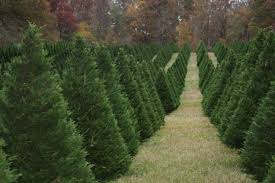 Types Of Christmas Trees To Plant by Caes Newswire Recycled Christmas Trees