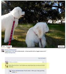 Do Jackie Bichon Shed by Fighting Seasonal Shedding Groovy Goldendoodles