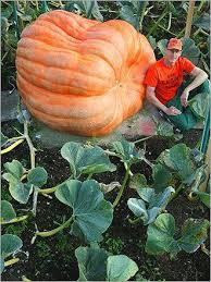Worlds Heaviest Pumpkin Pie by 100 Best Giant Pumpkins Images On Pinterest Pumpkin Topiary