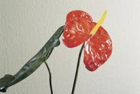 how to grow anthurium in pots home guides sf gate