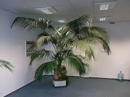 große kentia palme in hydrokultur