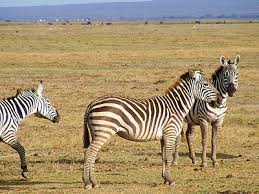 Zebras Eastern Southern And South Western Africa Distinctive White Black Stripes Grevys Zebra In