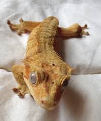 Crested Gecko Shedding Signs by Crested Gecko Brookshire Exotics