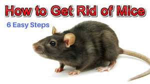 How To Get Rid Of Mice Permanently Without Professional Help - YouTube Details Amazoncom Bonazza Mice Repellent Plugin Ultrasonic Pest The Battle Of And Men Pparedness Pro How To Get Rid Of Permanently Without Professional Help Youtube Control 1 Resource For Horse Farms Stables Riding Rats In Your Barns Stall13com Videos To Naturally Natural Rat Guide 5 Easy Steps Helpful Hints Pinterest Chicken Chick 15 Tips Rodents Around Coops Just One Bite Ii Bars And Killer8lbs8 16 Oz Bars Pet Coats Hairless Rex Harley Uerstanding Fancy Keep Other Out Your Car Engine