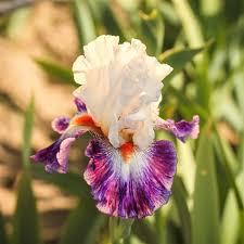 reblooming bearded iris lord rhizome for sale easy to grow