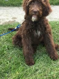 Large Low Shedding Dogs by Adopt Local Dogs U0026 Puppies In Kawartha Lakes Pets Kijiji