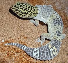 Do Leopard Geckos Shed by A Creative K And Now For Something Completely Different