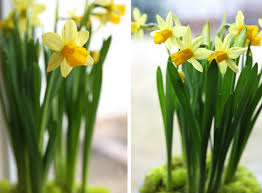 how to bulbs indoors bulbs daffodils and grow bulbs