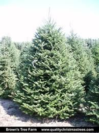Fraser Christmas Trees Uk by Buy Fraser Fir Christmas Trees Online