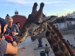 Pumpkin Farm Illinois Giraffe by Sharing Funky Midwest Traditions With French Couch Surfers