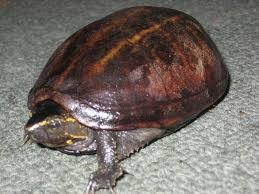 the common musk turtle or stinkpot my choice for perfect pet