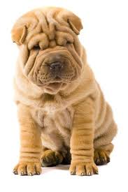 Do Shar Peis Shed Hair by The Most Scrumptiously Wrinkly Dogs On The Internet Sharpei Dog