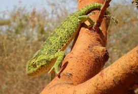 Basking Lamp For Chameleon by Basic Care For Senegal Chameleons