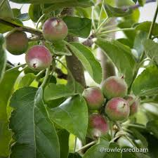 Baby Granny Smith Apples On The Tree. Who Would Have Guessed That ... Rowleys Red Barn A Santaquin Sweet Treat News Ray Rowley Cherry Hill Farms Ut Youtube No Sugar Added Tart Cherries Country Spoon The Home Facebook Products Archive Is Payson Chamber Business Of The Barnfree Family Pass Giveaway Utah Deal Diva Burgers Come To Blossom Festival Lds Travel Advice Temple Traveler Sodas Slushes And Shakes