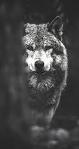Wolf The iPhone Wallpapers