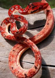 Corn Snake Shedding Signs by Más De 25 Ideas Increíbles Sobre Snake Shedding En Pinterest