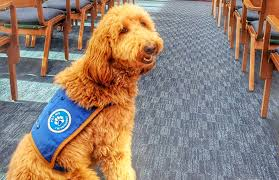 Lulu a Funeral Therapy Dog forts Grieving Families