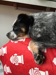 Do Blue Heeler Border Collies Shed by Life With Piper My Blue Heeler Border Collie Mix Mutt U2013 Sabrina