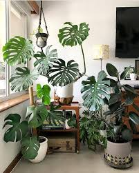 monstera deliciosa tropical plants deliciosa monstera